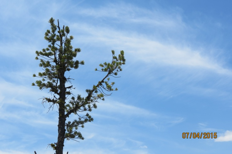 blue sky with tall pine